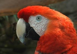 red macaw is a type of parrot