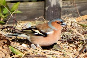 chaffinch on dry foliage