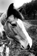Black and white photo of the horse on the farm