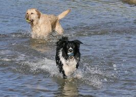 border collie and golden retriever run on water