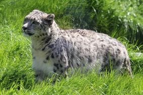 beautiful and cute Snow Leopard