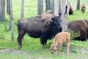 buffalo and bison in american park