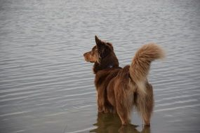 brown Dog in Water