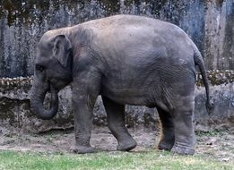 gray Indian elephant