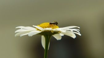 insect on a daisy on a blurred background close-up