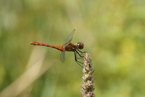 red dragonfly on top of a plant