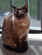 Picture of Siamese cat