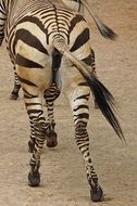 Picture of Zebra is running