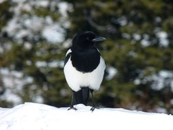 black and white bird stands in the snow