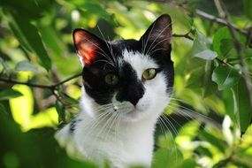 black and white Cat head among green leaves