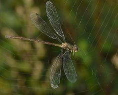 dragonfly tangled in the web