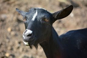 black goat on nature