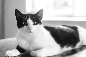 black and white photo of domestic cat