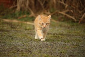 walking red baby cat