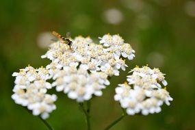 insect on white yarrow blossom
