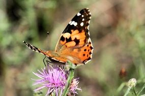 painted lady on the thistle flower