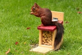red squirrel on the feeding box