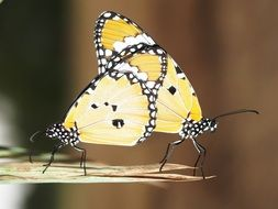 two yellow butterflies on a leaf close up