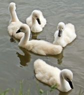young fluffy swans