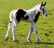 spotted foal on green grass