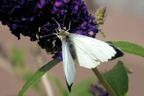 white butterfly on a purple plant flower