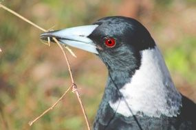 magpie with a red eye close up