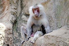 baboon sitting on a stone in the wild