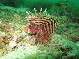 exotic red Lionfish ocean portrait