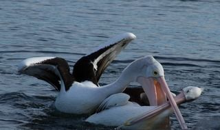 the struggle of two pelicans in the water