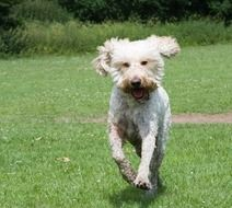 curly white happy dog ​​running through the grass