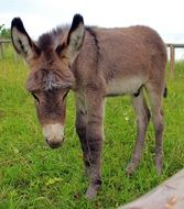 donkey foal on the pasture