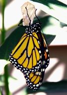 closeup of a monarch butterfly
