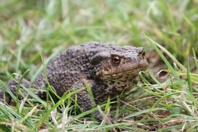 Toad in the green grass in spring