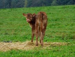 Little Calf on a pasture