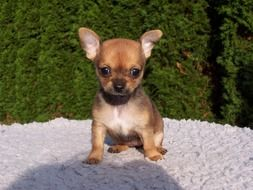 sweet chihuahua puppy