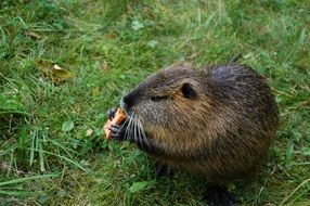water rat or nutria