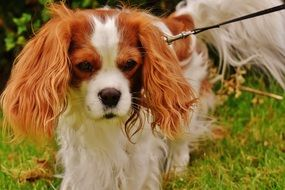 Cavalier King Charles spaniel on a leash on the grass