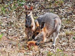 wallaby mother with child