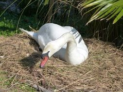 Mute Swan on dry grass on a sunny day
