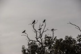 Crows on the tree