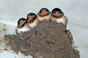 four chicks swallows in the nest