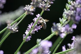 Pollination on lavenders