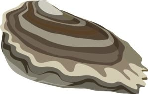 drawing Oyster Mussel
