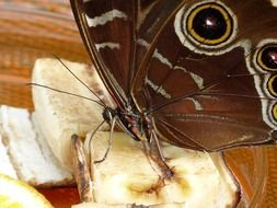brown butterfly with proboscis close up