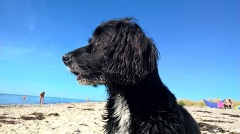 black dog on the beach