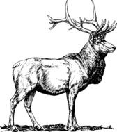 black and white drawing of a deer