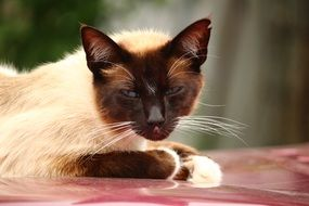 tired siamese cat