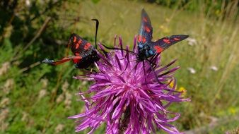 wild two black-red beetles on a purple flower