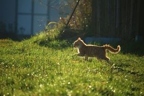 red kitten running on the meadow