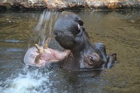 Hippo head with wide open mouth above water